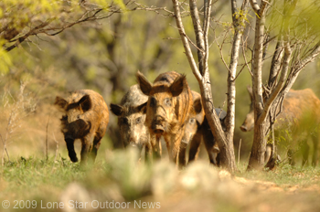 Demand for wild hog meat has remained steady in Texas. Photo by David J. Sams, LSONews.com.