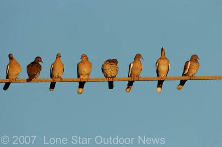 White-winged dove sit on a power line. The 2007 dove season outlook in Texas looks good.
