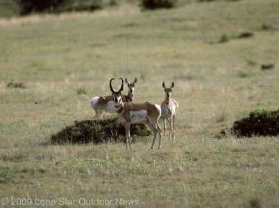 RANGE REGS: Hunters may now harvest pronghorn in select counties of the Oklahoma Panhandle. Photo by David J. Sams, Lone Star Outdoor News.