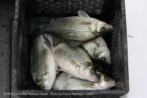 White bass run beginning on trinity river near lake for Lake livingston fishing report