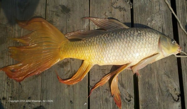 State record goldfish caught in lake tawakoni texas for Lake tawakoni fishing guides