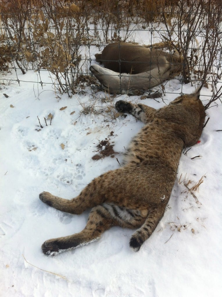 SNOW KITTY: The author found this cat near a fence after the bobcat would not leave a freshly-dead deer. Photo by David J. Sams, LSON.