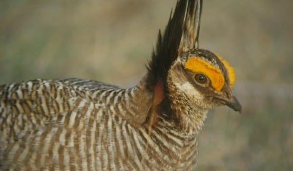 LOOKING FOR SUPPORT: Landowners hoping to be a part of the lesser prairie chicken plan should come to one of the informational meetings next week. Photo by Gerard Bertrand.