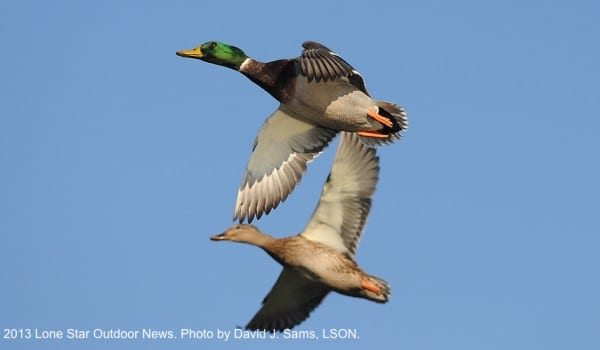 COME ON DOWN: An arctic blast is pushing more ducks into Texas. Photo by David J. Sams, LSON.