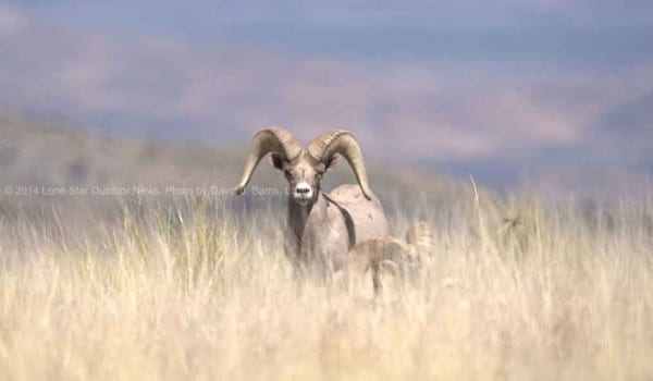 BIG HORN SHEEP TXI 2 4445