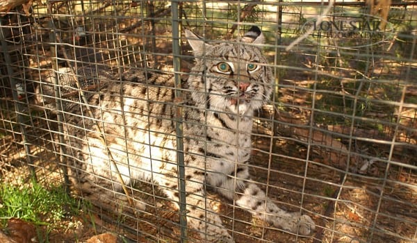 BOBCAT..caught in live trap north Texas
