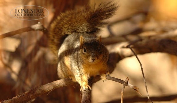 SQUIRREL.red/fox squirrel in tree, Texas