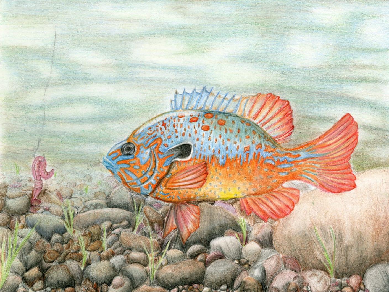 Freshwater fish art - K_yoakum_7 9_1st Wildlife_forever