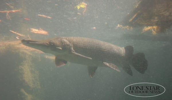 GAR ..Long nose gar and alligator gar under water texas.