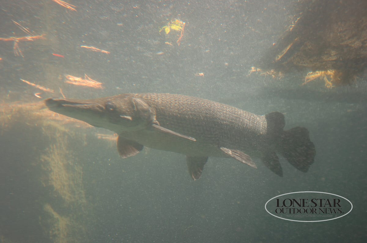 Tpwd temporarily closes alligator gar fishing in trinity for Trinity river fishing spots