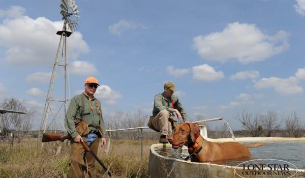 Bobwhite quail hunting  Wilson 186 Ranch South Texas