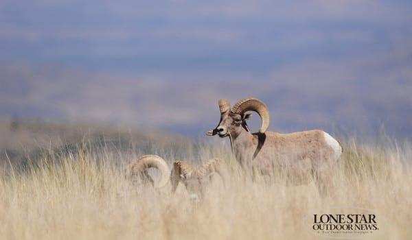 BIG HORN SHEEP TXI 2 4428 copy