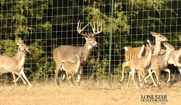 WHITETAILED DEER 05.180-190 class buck portraits and action .Kaufman County Texas.George Taliaferro 972-743-2256 cell 972-486-4961
