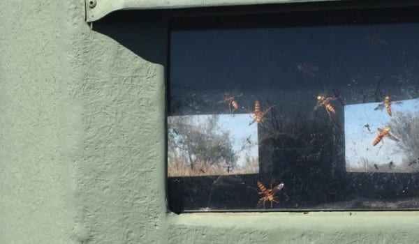 Deer season.... Oh yeah, it's about to open. I found these guys in every blind we have today. These wasp are doing the bug bomb dance! #lonestaroutdoornews.