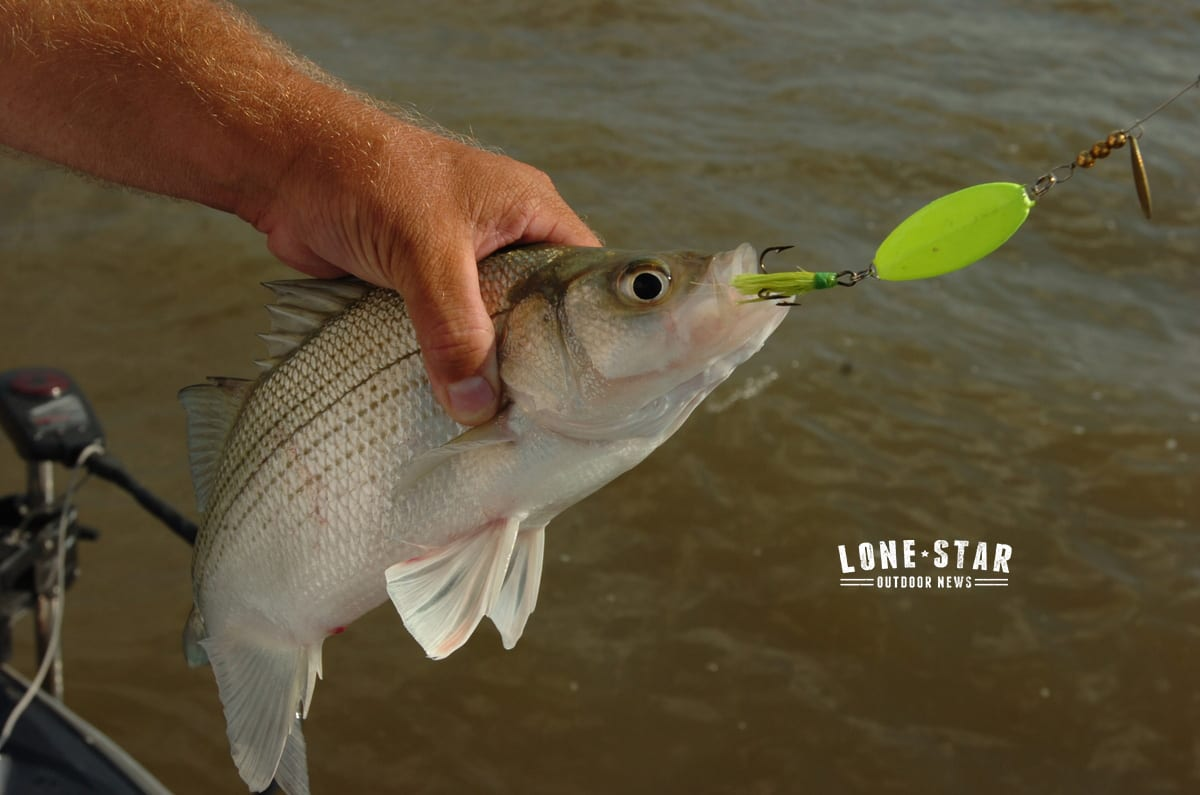 Texas fishing report white bass on the move texas for White bass fishing lures