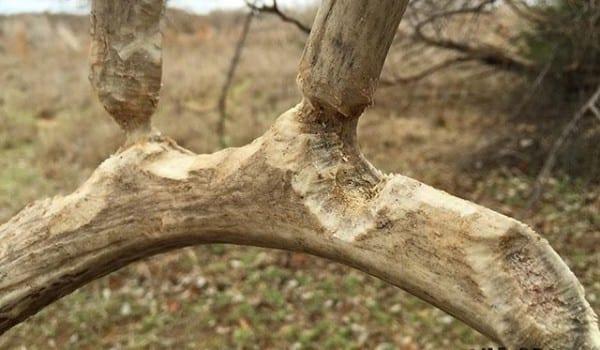 rats-wood-hunting