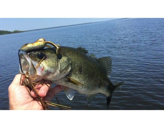 Fish we caught on the Ribbit Top Toad Hollow Body on Big Sam. Hit the outside hay grass mats for the best action.