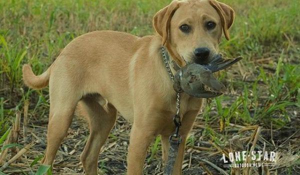 Dakota's first dove retrieve last weekend. Today he starts training camp at Landmark Kennels.
