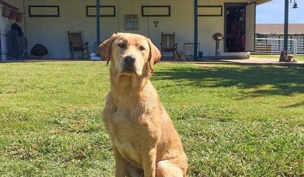 Two weeks of retriever training complete at Landmark Kennels. Dakota is looking good.