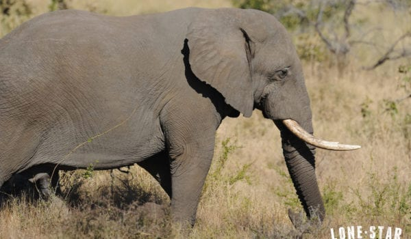 President Trump delays new policy on importing elephant trophies