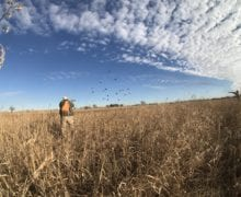 Studying bobwhite quail coverys